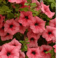 5 x TRAILING PETUNIAS SURFINIA HOT RED